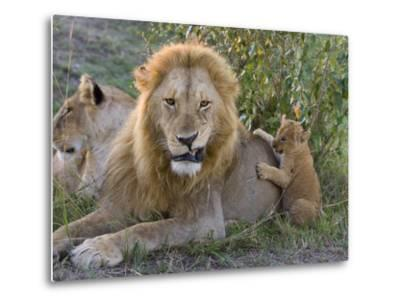 African Lion (Panthera Leo)Cub Playing with Adult Male, Vulnerable, Masai Mara Nat'l Reserve, Kenya-Suzi Eszterhas/Minden Pictures-Metal Print