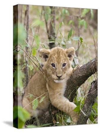 African Lion (Panthera Leo) 6 to 7 Week Old Cub Playing on Tree, Masai Mara Nat'l Reserve, Kenya-Suzi Eszterhas/Minden Pictures-Stretched Canvas Print