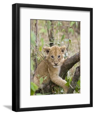 African Lion (Panthera Leo) 6 to 7 Week Old Cub Playing on Tree, Masai Mara Nat'l Reserve, Kenya-Suzi Eszterhas/Minden Pictures-Framed Photographic Print