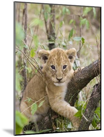 African Lion (Panthera Leo) 6 to 7 Week Old Cub Playing on Tree, Masai Mara Nat'l Reserve, Kenya-Suzi Eszterhas/Minden Pictures-Mounted Photographic Print