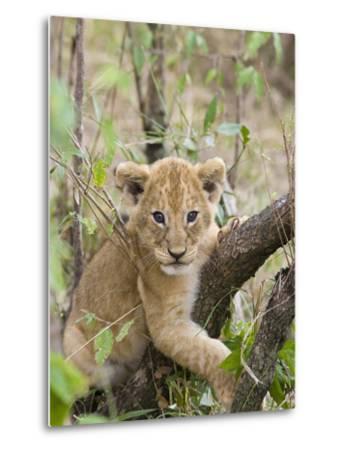 African Lion (Panthera Leo) 6 to 7 Week Old Cub Playing on Tree, Masai Mara Nat'l Reserve, Kenya-Suzi Eszterhas/Minden Pictures-Metal Print