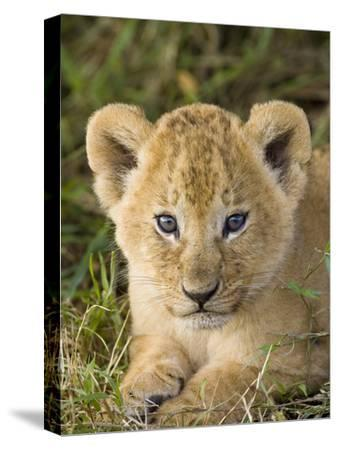 African Lion (Panthera Leo) Five Week Old Cub, Vulnerable, Masai Mara Nat'l Reserve, Kenya-Suzi Eszterhas/Minden Pictures-Stretched Canvas Print