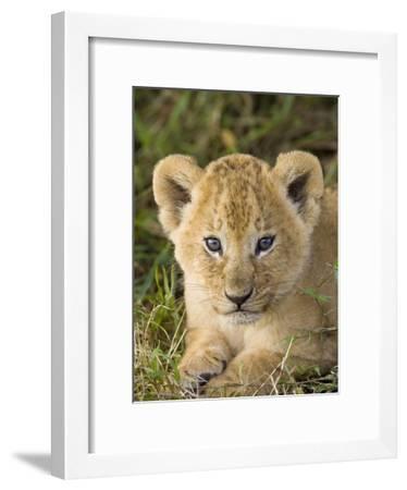 African Lion (Panthera Leo) Five Week Old Cub, Vulnerable, Masai Mara Nat'l Reserve, Kenya-Suzi Eszterhas/Minden Pictures-Framed Photographic Print