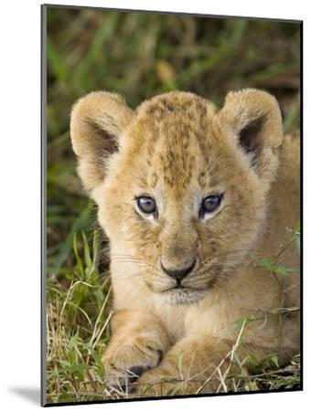 African Lion (Panthera Leo) Five Week Old Cub, Vulnerable, Masai Mara Nat'l Reserve, Kenya-Suzi Eszterhas/Minden Pictures-Mounted Photographic Print