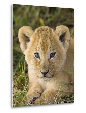 African Lion (Panthera Leo) Five Week Old Cub, Vulnerable, Masai Mara Nat'l Reserve, Kenya-Suzi Eszterhas/Minden Pictures-Metal Print