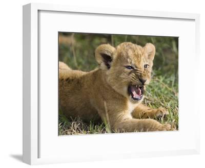 African Lion (PantheraLeo) 6 to 7 Week Old Cub Yawning, Vulnerable, Masai Mara Nat'l Reserve, Kenya-Suzi Eszterhas/Minden Pictures-Framed Photographic Print