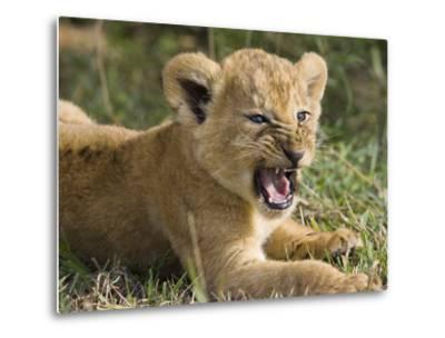 African Lion (PantheraLeo) 6 to 7 Week Old Cub Yawning, Vulnerable, Masai Mara Nat'l Reserve, Kenya-Suzi Eszterhas/Minden Pictures-Metal Print