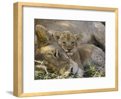 African Lion (Panthera Leo) Mother Resting with Cub, Vulnerable, Masai Mara Nat'l Reserve, Kenya-Suzi Eszterhas/Minden Pictures-Framed Photographic Print