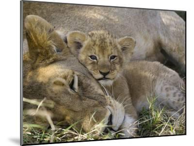 African Lion (Panthera Leo) Mother Resting with Cub, Vulnerable, Masai Mara Nat'l Reserve, Kenya-Suzi Eszterhas/Minden Pictures-Mounted Photographic Print