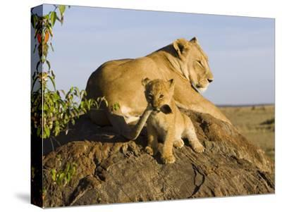 African Lion (Panthera Leo) Cub Playing with its Mother's Tail, Masai Mara Nat'l Reserve, Kenya-Suzi Eszterhas/Minden Pictures-Stretched Canvas Print
