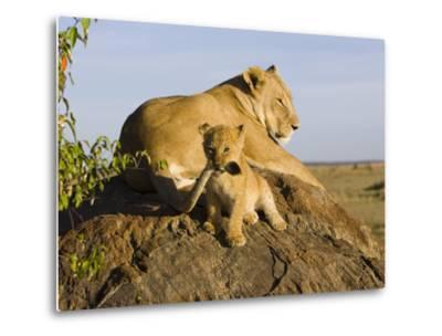 African Lion (Panthera Leo) Cub Playing with its Mother's Tail, Masai Mara Nat'l Reserve, Kenya-Suzi Eszterhas/Minden Pictures-Metal Print