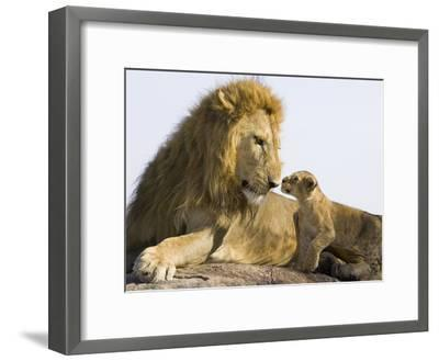 African Lion (Panthera Leo) Cub Approaching Adult Male, Vulnerable, Masai Mara Nat'l Reserve, Kenya-Suzi Eszterhas/Minden Pictures-Framed Photographic Print