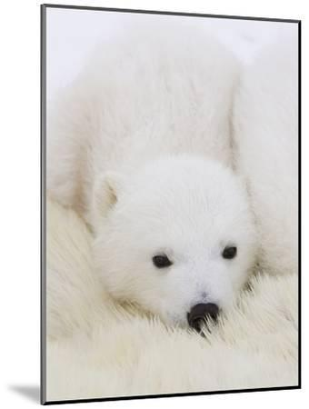 Polar Bear (Ursus Maritimus) Cubs on Top of their Mother, Wapusk Nat'l Park, Manitoba, Canada-Suzi Eszterhas/Minden Pictures-Mounted Photographic Print