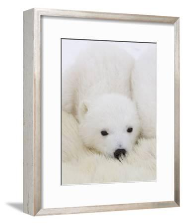 Polar Bear (Ursus Maritimus) Cubs on Top of their Mother, Wapusk Nat'l Park, Manitoba, Canada-Suzi Eszterhas/Minden Pictures-Framed Photographic Print