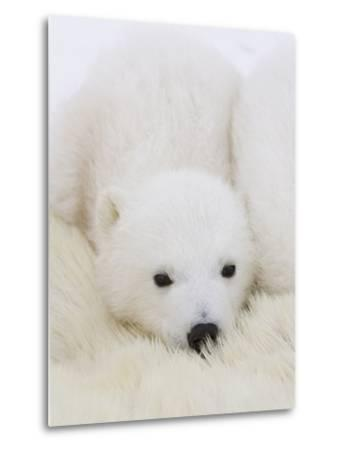 Polar Bear (Ursus Maritimus) Cubs on Top of their Mother, Wapusk Nat'l Park, Manitoba, Canada-Suzi Eszterhas/Minden Pictures-Metal Print