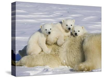 Polar Bear (Ursus Maritimus) Cubs on Top of their Mother, Wapusk Nat'l Park, Manitoba, Canada-Suzi Eszterhas/Minden Pictures-Stretched Canvas Print