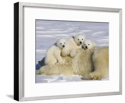 Polar Bear (Ursus Maritimus) Cubs on Top of their Mother, Wapusk Nat'l Park, Manitoba, Canada-Suzi Eszterhas/Minden Pictures-Framed Photographic Print