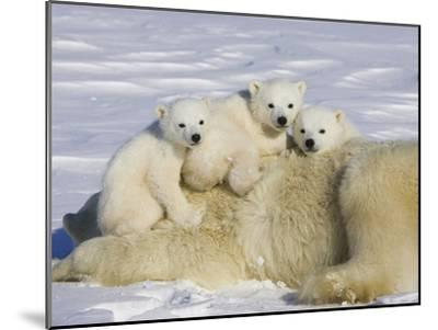Polar Bear (Ursus Maritimus) Cubs on Top of their Mother, Wapusk Nat'l Park, Manitoba, Canada-Suzi Eszterhas/Minden Pictures-Mounted Photographic Print