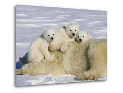 Polar Bear (Ursus Maritimus) Cubs on Top of their Mother, Wapusk Nat'l Park, Manitoba, Canada-Suzi Eszterhas/Minden Pictures-Metal Print