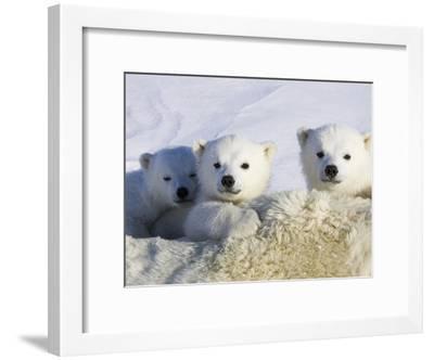 Polar Bear (Ursus Maritimus) Cubs Peeking over Mother, Wapusk Nat'l Park, Manitoba, Canada-Suzi Eszterhas/Minden Pictures-Framed Photographic Print