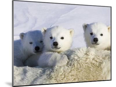 Polar Bear (Ursus Maritimus) Cubs Peeking over Mother, Wapusk Nat'l Park, Manitoba, Canada-Suzi Eszterhas/Minden Pictures-Mounted Photographic Print