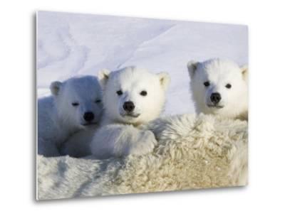 Polar Bear (Ursus Maritimus) Cubs Peeking over Mother, Wapusk Nat'l Park, Manitoba, Canada-Suzi Eszterhas/Minden Pictures-Metal Print