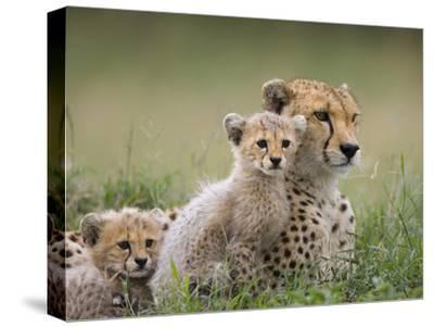 Cheetah (Acinonyx Jubatus) Mother and Eight to Nine Week Old Cubs, Maasai Mara Reserve, Kenya-Suzi Eszterhas/Minden Pictures-Stretched Canvas Print