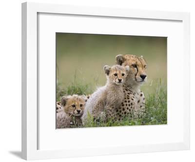 Cheetah (Acinonyx Jubatus) Mother and Eight to Nine Week Old Cubs, Maasai Mara Reserve, Kenya-Suzi Eszterhas/Minden Pictures-Framed Photographic Print