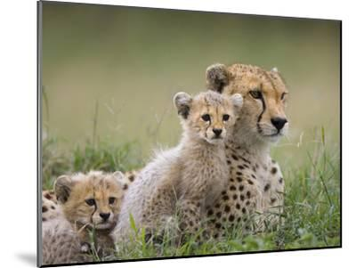 Cheetah (Acinonyx Jubatus) Mother and Eight to Nine Week Old Cubs, Maasai Mara Reserve, Kenya-Suzi Eszterhas/Minden Pictures-Mounted Photographic Print