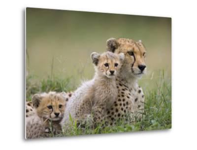 Cheetah (Acinonyx Jubatus) Mother and Eight to Nine Week Old Cubs, Maasai Mara Reserve, Kenya-Suzi Eszterhas/Minden Pictures-Metal Print