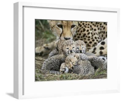 Cheetah (Acinonyx Jubatus) Cubs Curled Up Together in Nest, Maasai Mara Reserve, Kenya-Suzi Eszterhas/Minden Pictures-Framed Photographic Print