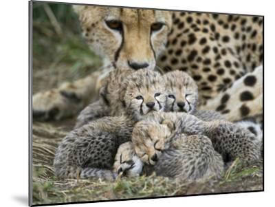 Cheetah (Acinonyx Jubatus) Cubs Curled Up Together in Nest, Maasai Mara Reserve, Kenya-Suzi Eszterhas/Minden Pictures-Mounted Photographic Print