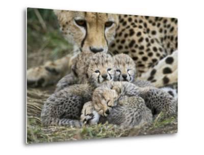 Cheetah (Acinonyx Jubatus) Cubs Curled Up Together in Nest, Maasai Mara Reserve, Kenya-Suzi Eszterhas/Minden Pictures-Metal Print