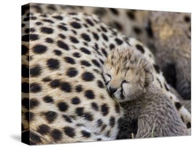 Cheetah (Acinonyx Jubatus) 7 Day Old Cub Resting Against Mother in Nest, Maasai Mara Reserve, Kenya-Suzi Eszterhas/Minden Pictures-Stretched Canvas Print