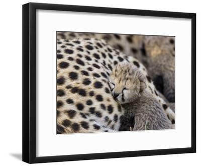 Cheetah (Acinonyx Jubatus) 7 Day Old Cub Resting Against Mother in Nest, Maasai Mara Reserve, Kenya-Suzi Eszterhas/Minden Pictures-Framed Photographic Print