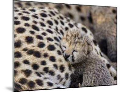 Cheetah (Acinonyx Jubatus) 7 Day Old Cub Resting Against Mother in Nest, Maasai Mara Reserve, Kenya-Suzi Eszterhas/Minden Pictures-Mounted Photographic Print