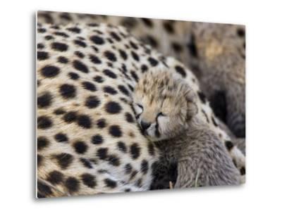 Cheetah (Acinonyx Jubatus) 7 Day Old Cub Resting Against Mother in Nest, Maasai Mara Reserve, Kenya-Suzi Eszterhas/Minden Pictures-Metal Print