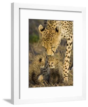 Cheetah (Acinonyx Jubatus) Mother Nuzzles Seven Day Old Cubs, Maasai Mara Reserve, Kenya-Suzi Eszterhas/Minden Pictures-Framed Photographic Print