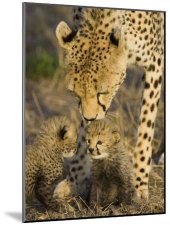 Cheetah (Acinonyx Jubatus) Mother Nuzzles Seven Day Old Cubs, Maasai Mara Reserve, Kenya-Suzi Eszterhas/Minden Pictures-Mounted Photographic Print