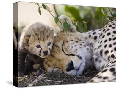 Cheetah (Acinonyx Jubatus) Mother and Seven Day Old Cub, Maasai Mara Reserve, Kenya-Suzi Eszterhas/Minden Pictures-Stretched Canvas Print
