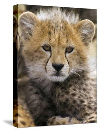 Cheetah (Acinonyx Jubatus) Ten to Twelve Week Old Cub Portrait, Maasai Mara Reserve, Kenya-Suzi Eszterhas/Minden Pictures-Stretched Canvas Print