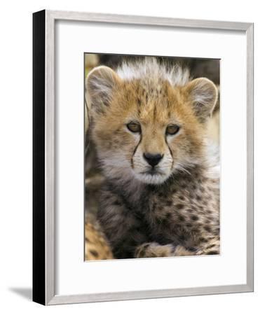 Cheetah (Acinonyx Jubatus) Ten to Twelve Week Old Cub Portrait, Maasai Mara Reserve, Kenya-Suzi Eszterhas/Minden Pictures-Framed Photographic Print
