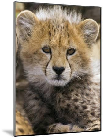 Cheetah (Acinonyx Jubatus) Ten to Twelve Week Old Cub Portrait, Maasai Mara Reserve, Kenya-Suzi Eszterhas/Minden Pictures-Mounted Photographic Print
