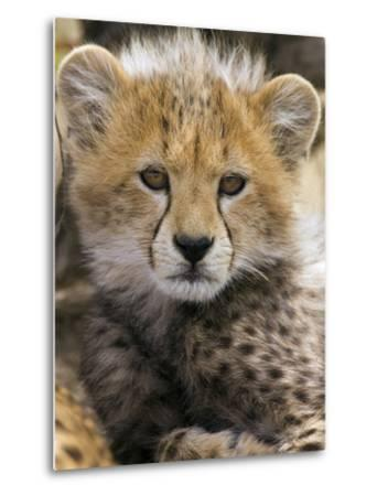 Cheetah (Acinonyx Jubatus) Ten to Twelve Week Old Cub Portrait, Maasai Mara Reserve, Kenya-Suzi Eszterhas/Minden Pictures-Metal Print