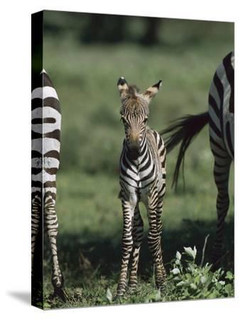 Burchell's Zebra (Equus Burchellii) Foal, Ngorongoro Conservation Area, Tanzania, East Africa-Suzi Eszterhas/Minden Pictures-Stretched Canvas Print