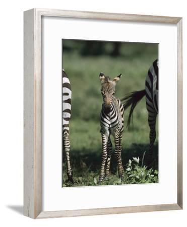 Burchell's Zebra (Equus Burchellii) Foal, Ngorongoro Conservation Area, Tanzania, East Africa-Suzi Eszterhas/Minden Pictures-Framed Photographic Print