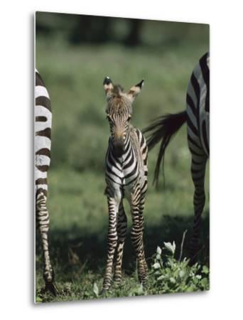 Burchell's Zebra (Equus Burchellii) Foal, Ngorongoro Conservation Area, Tanzania, East Africa-Suzi Eszterhas/Minden Pictures-Metal Print