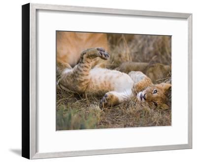 African Lion (Panthera Leo) Playful Cub Sprawling on Back, Masai Mara Nat'l Reserve, Kenya-Suzi Eszterhas/Minden Pictures-Framed Photographic Print