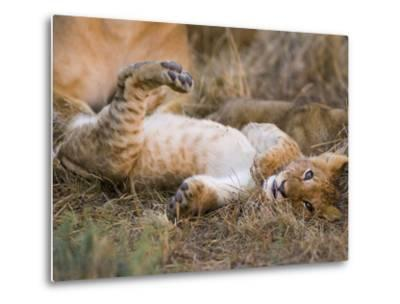 African Lion (Panthera Leo) Playful Cub Sprawling on Back, Masai Mara Nat'l Reserve, Kenya-Suzi Eszterhas/Minden Pictures-Metal Print