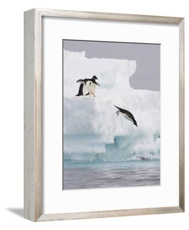 Adelie Penguin (Pygoscelis Adeliae) Diving Off Iceberg into Icy Water, Paulet Island, Antarctica-Suzi Eszterhas/Minden Pictures-Framed Photographic Print